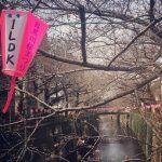 今週の目黒川の桜の開花情報