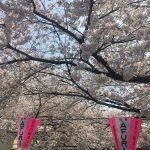 中目黒の桜は今週が見頃です